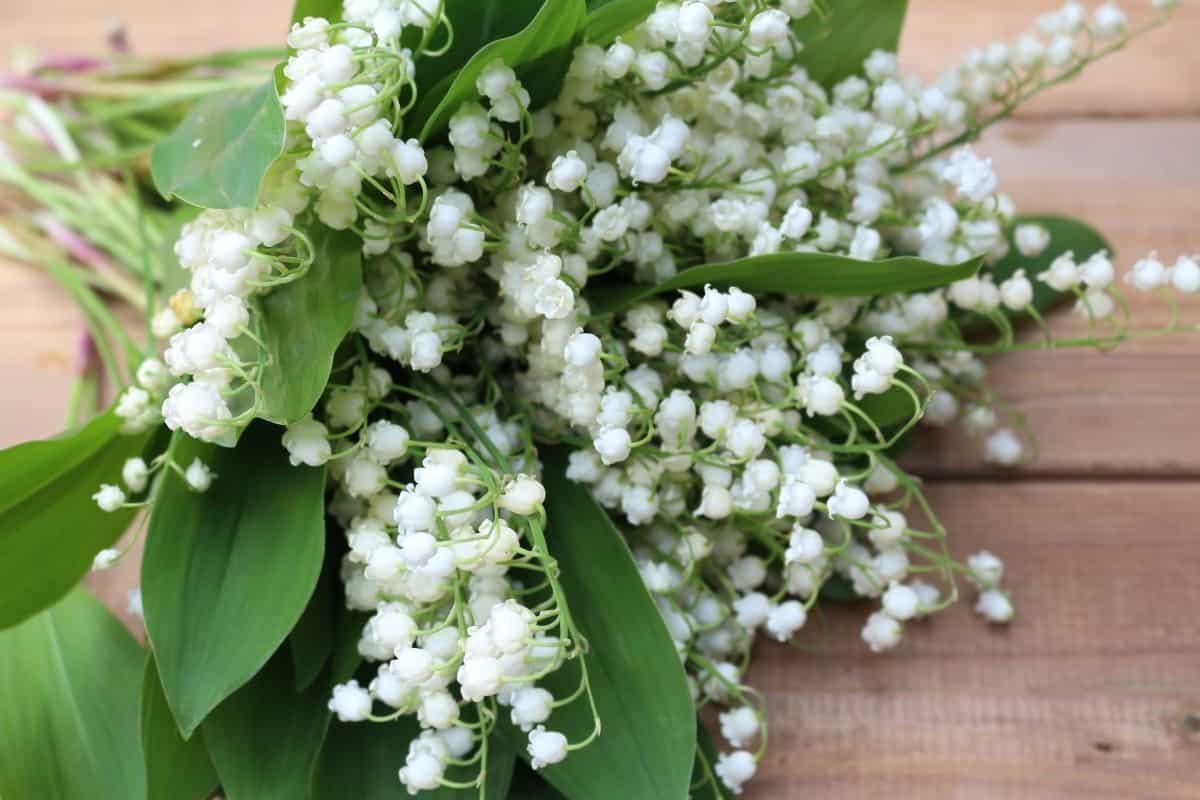 أسعار خيالية لأزهار نادرة : زنبق الوادي