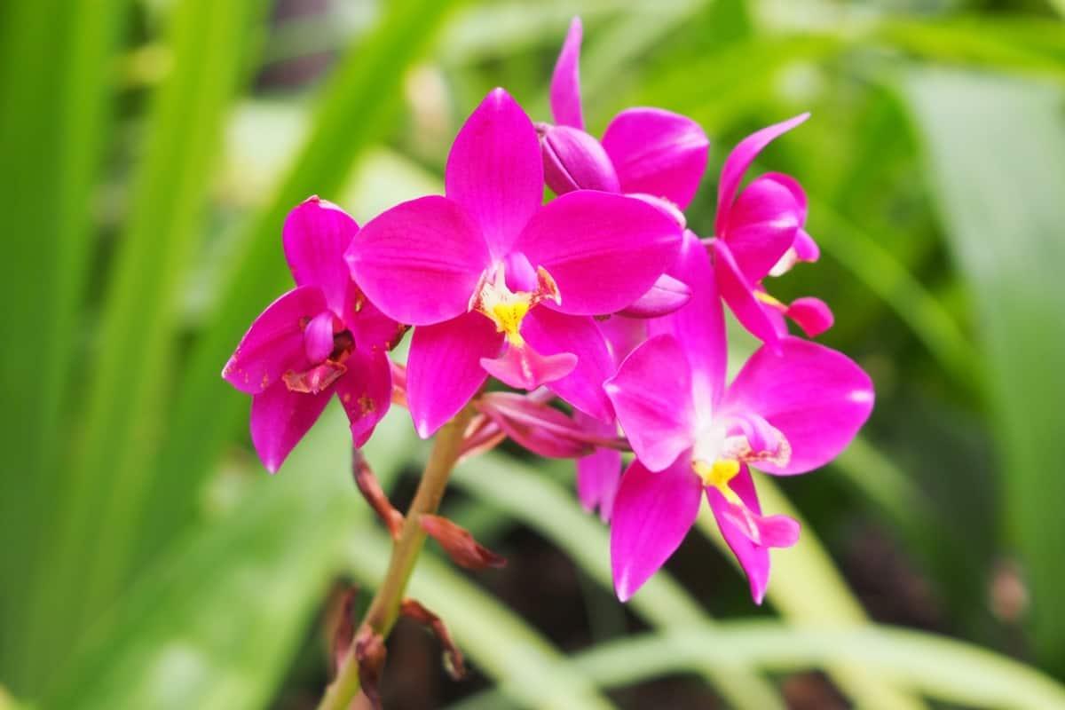 زهرة الأوركيد